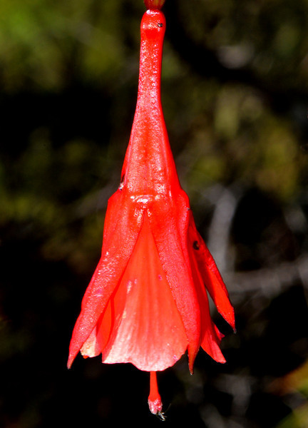 Flower photographed near Villa Pajon in the Parque Nacional Valle Nuevo. I believe this one is called campanilla.