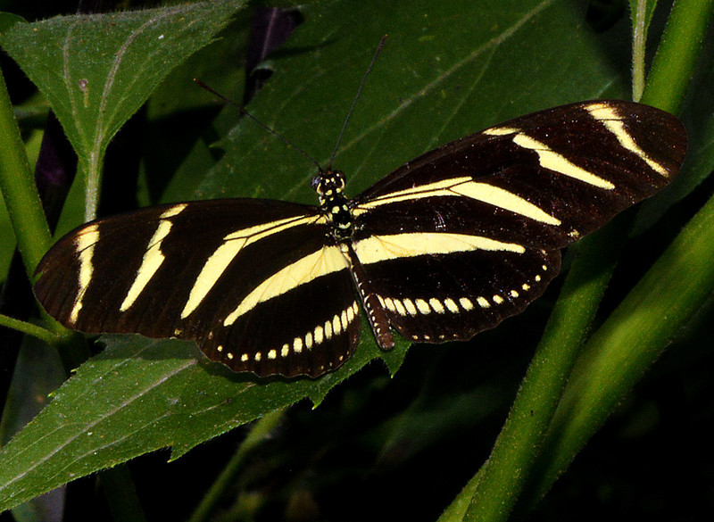 Zebra longwing along the road to Parque Nacional Valle Nuevo