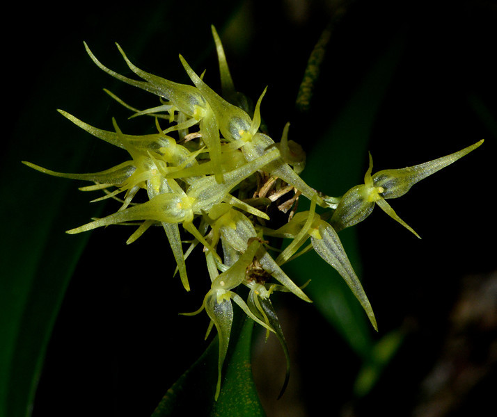 Orchid endemic to the area around Cachote, Sierra de Bahoruco Oriental