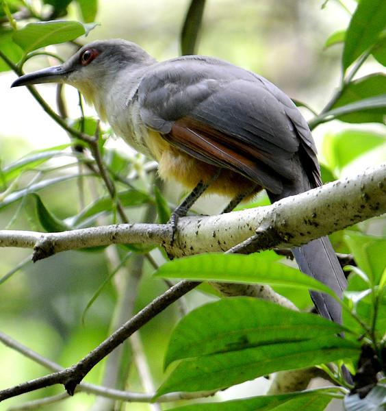 Hispaniolan Lizard-Cuckoo photographed along the Rabo del Gato near Villa Barrancoli