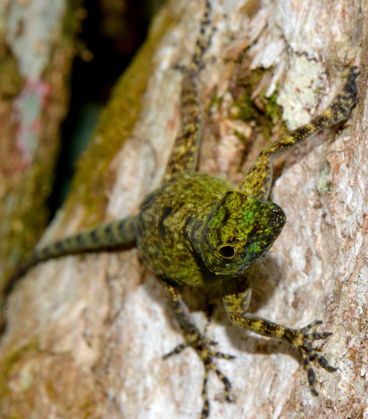 Anole photographed at Canto del Jilguero