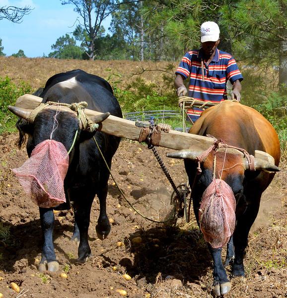 Plowing potatoes at Villa Pajon
