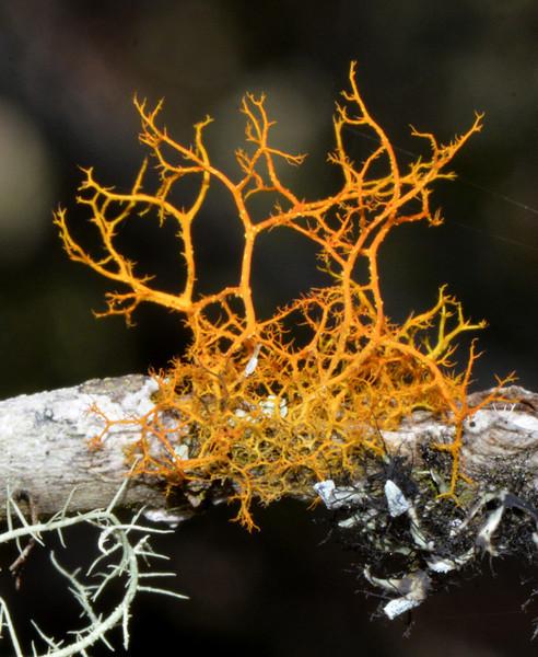 Orange lichen (?) photographed at Zapoten