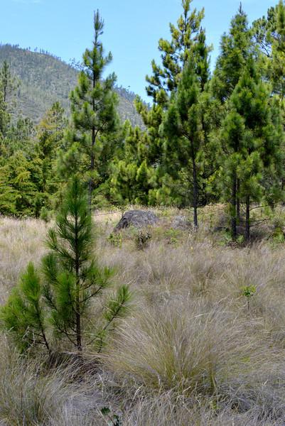 Pine savannah in Parque Nacional Valle Nuevo