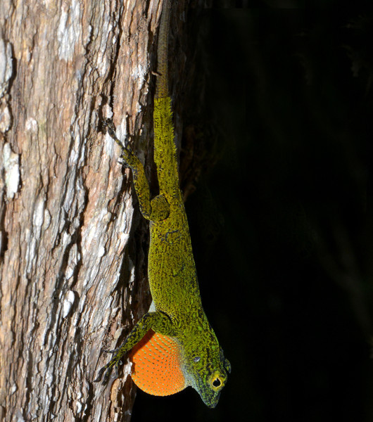 Anole displaying near Canto del Jilguero