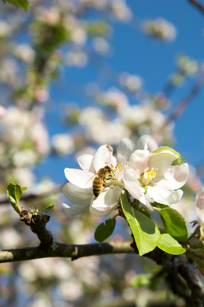 Honeybee on pink and White Apple Blossoms