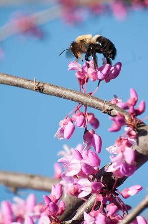 Honey bee on an apple blossom