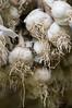 Garlic bulbs drying