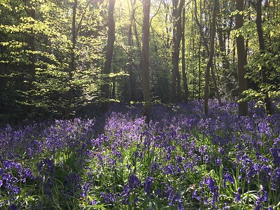 Walkabout Bluebell Wood Buckinghamshire