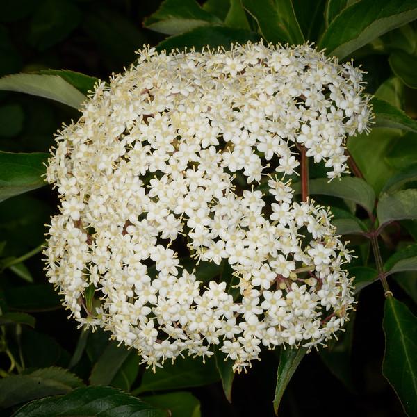 Elderberry (Sambucus canadensis)