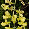 Plains wild indigo (Baptisia leucophaca)
