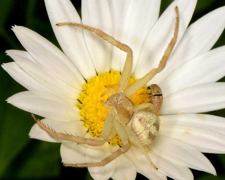 Crab spider (Mecaphesa sp.)