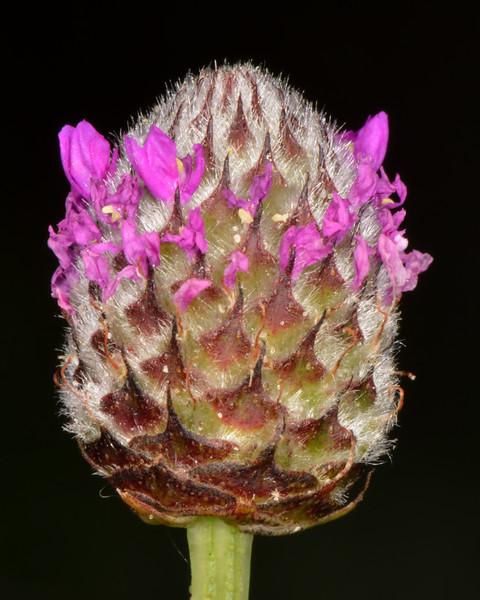 Wedgeleaf prairie clover (Dalea emarginata)