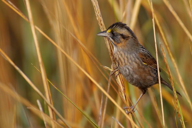Seaside sparrow (Ammodramus maritimus)