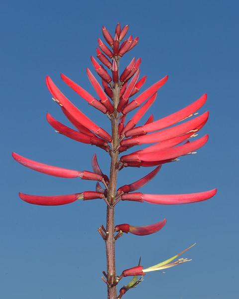 Coralbean (Erythrina herbacea)