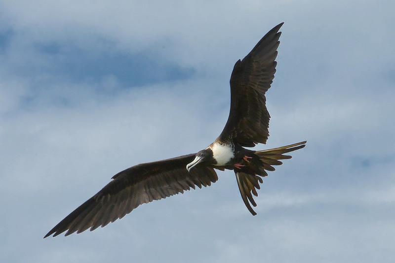 Magnificent frigatebird (Fregata magnificens) adult female