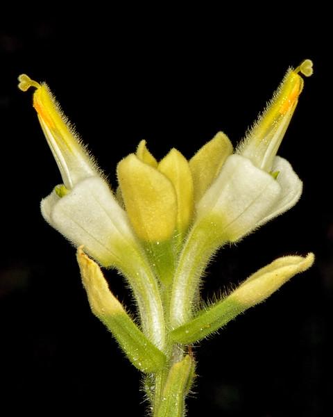 Texas paintbrush (yellow variety) (Castilleja indivisa)