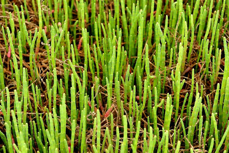 Glasswort (Salicornia bigelovii)