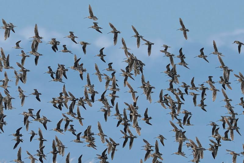 Long-billed dowitchers (Limnodromus scolopaceus) and stilt sandpipers (Calidris himantopus) in flight