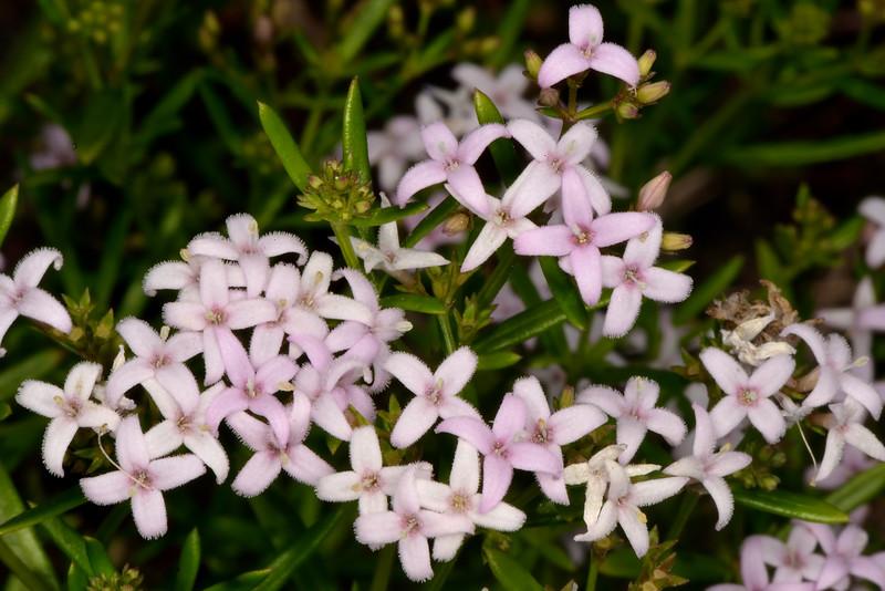 Bluet (Hedyotis nigricans)
