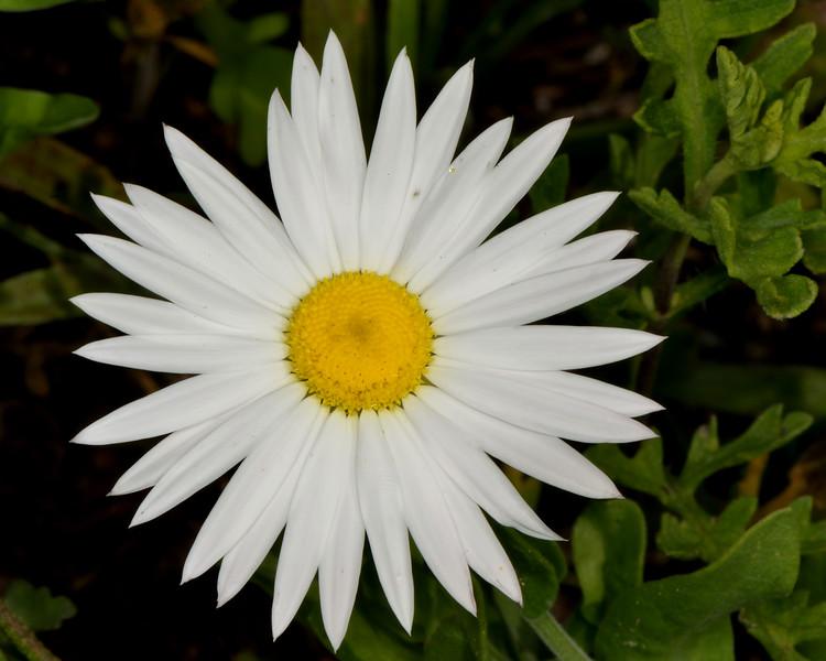 Lazy daisy (Amblyolepis setigera)