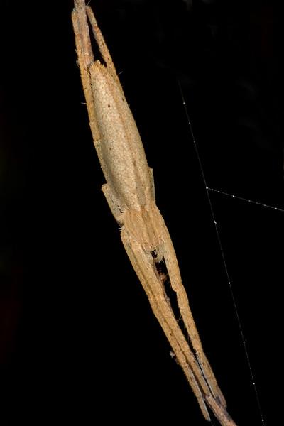 Long-jawed orbweaver (Tetragnathidae)