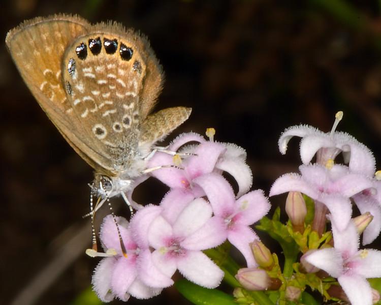 Eastern Pygmy-Blue (Brephidium pseudofea)