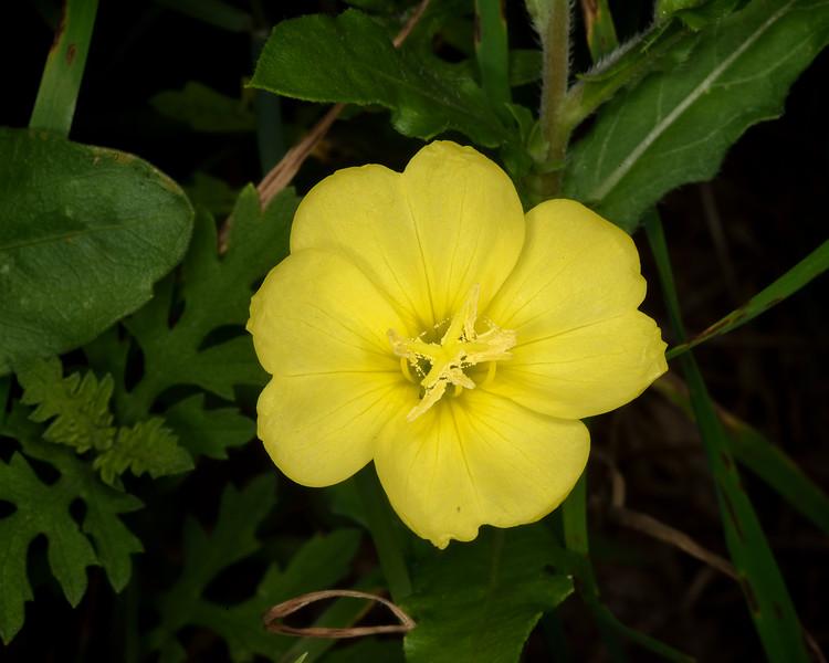 Yellow sundrops (Calylophus serrulatus)
