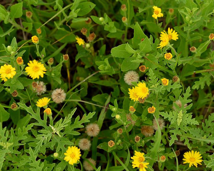 Camphorweed (Heterotheca subaxillaris) with western ragweed (Ambrosia psilostachya)