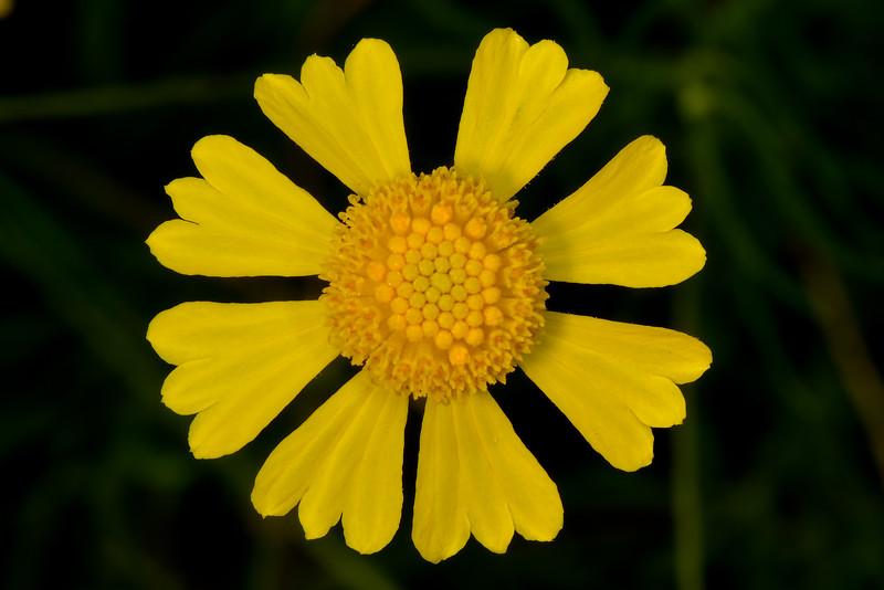 Common Sneezeweed (Helenium autumnale)