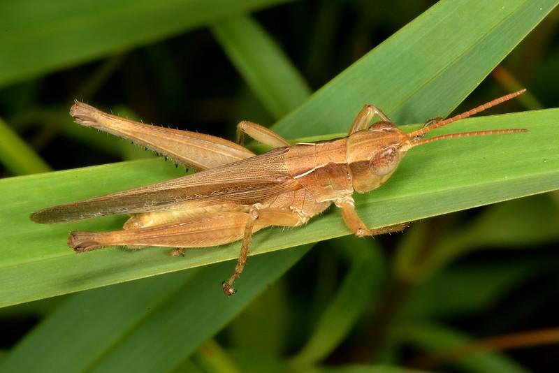 Spot-winged grasshopper (Orphulella pelidna)
