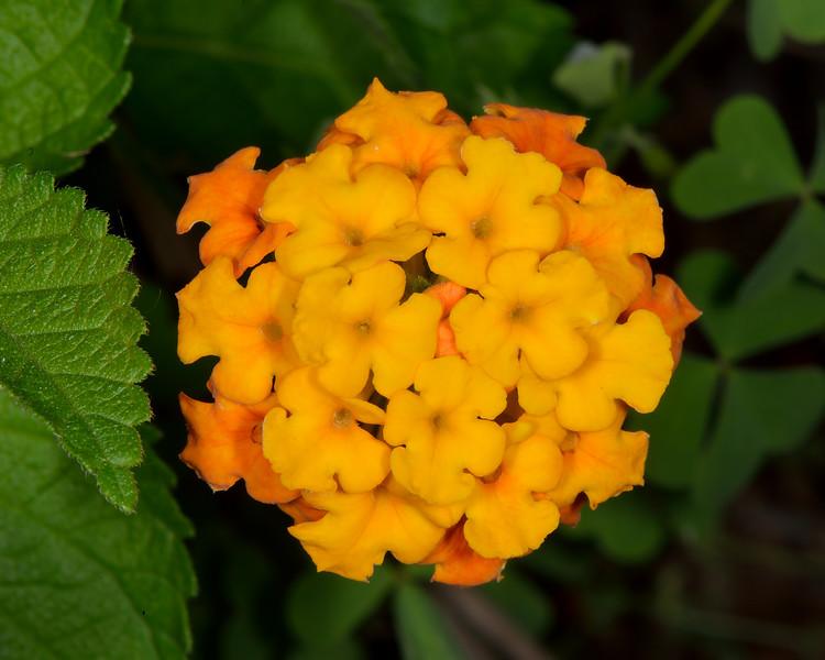 Texas lantana (Lantana urticoides)