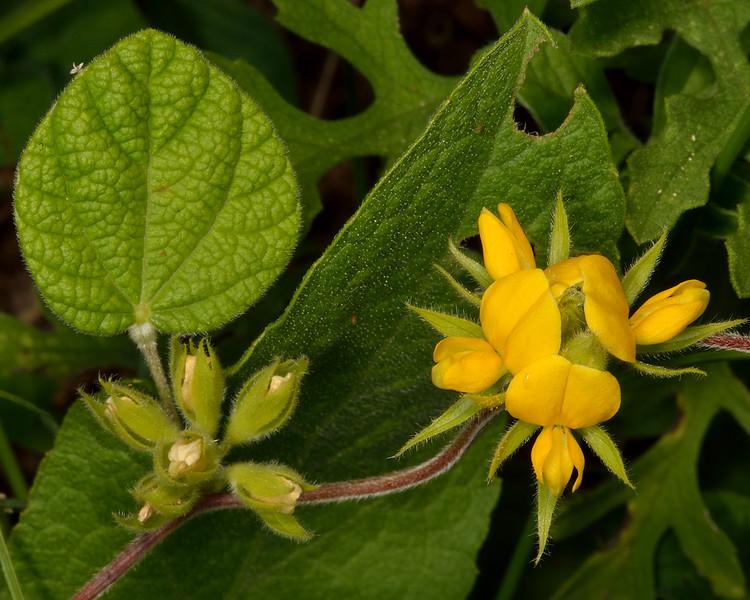 American snoutbean (Rhynchosia americana)