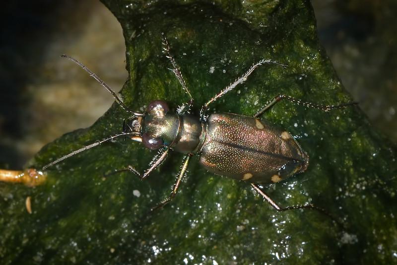 Saltmarsh tiger beetle (Habroscelimorpha severa)