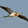 Tricolored heron (Egretta tricolor) immature
