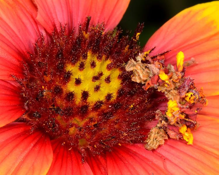 Synchlora (geometrid moth) caterpillar