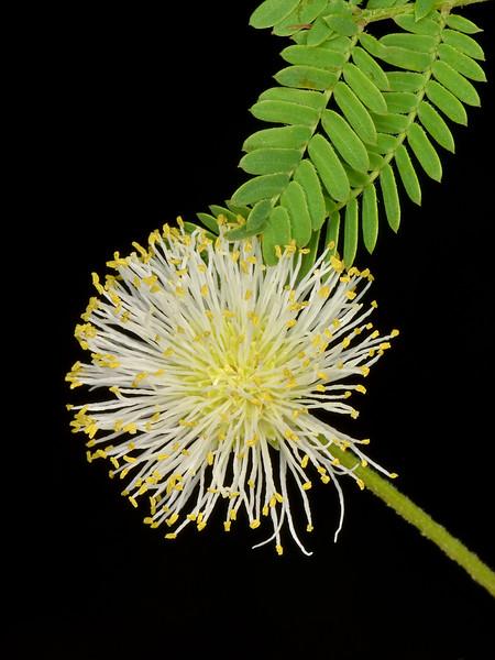 Prairie mimosa (Desmanthus illinoensis)