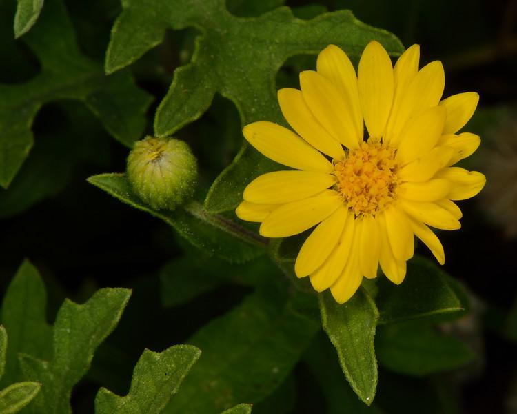 Camphorweed (Heterotheca subaxillaris)