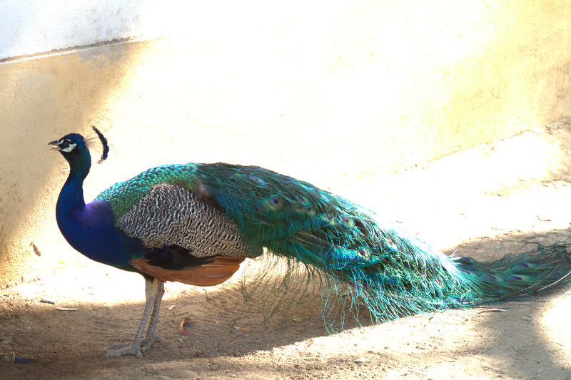 Peacock, Jardim Publico de Evora, Portugal