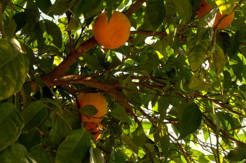 Oranges growing streetside, Evora, Portugal