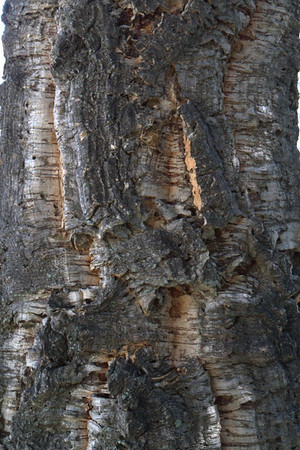 Bark of Cork Tree