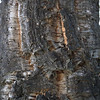Bark of Cork Tree