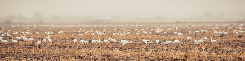Fully Commited Snowgeese-0017