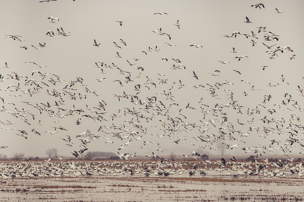 Fully Commited Snowgeese-0013