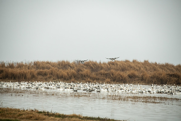 Fully Commited Snowgeese-0019
