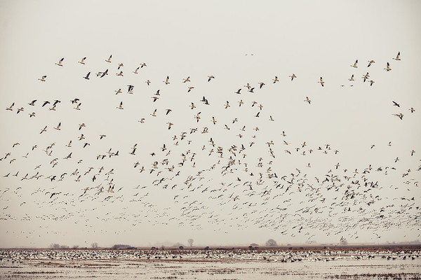 Fully Commited Snowgeese-0010