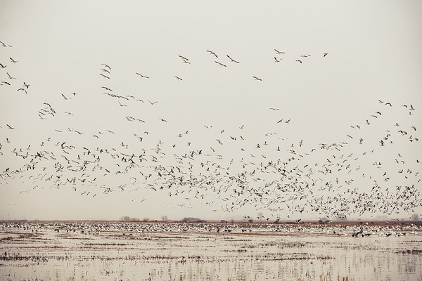 Fully Commited Snowgeese-0012