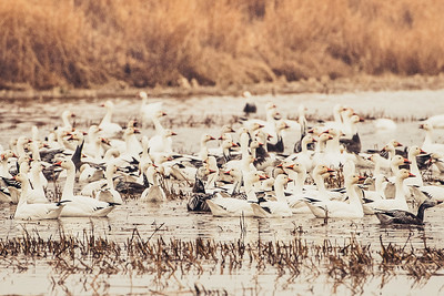 Fully Commited Snowgeese-0002