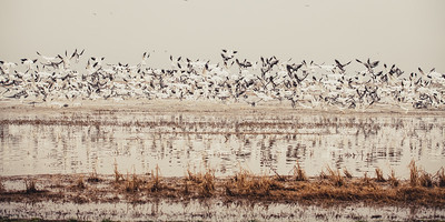 Fully Commited Snowgeese-0005