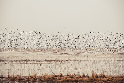 Fully Commited Snowgeese-0006